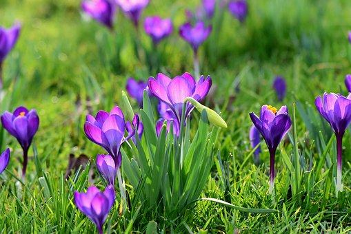 Crocus, Spring Flower, Blossom