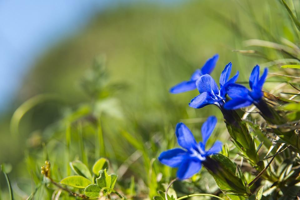 Genziana, Fiore, Blu, Fiori Alpini, Impianto