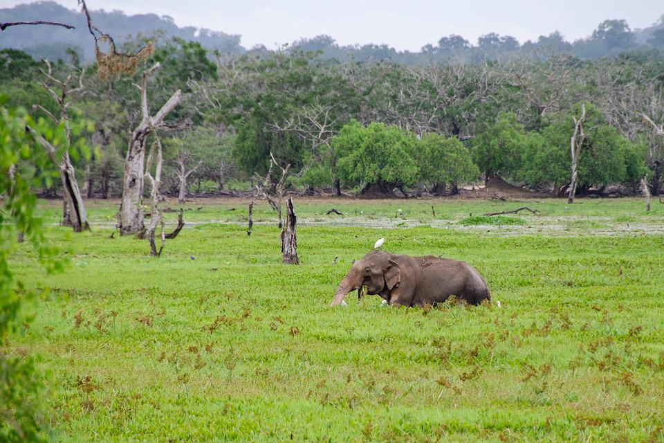 Sri Lankan Elephant, Elephant, Asian, Wildlife