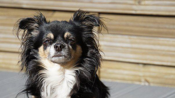 Chihuahua, Long Hair Chihuahua, Dog
