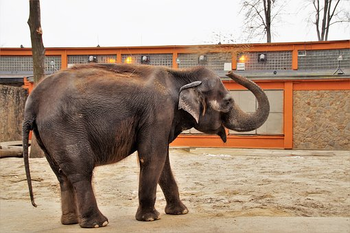 Elephant with raised trunk in a zoo