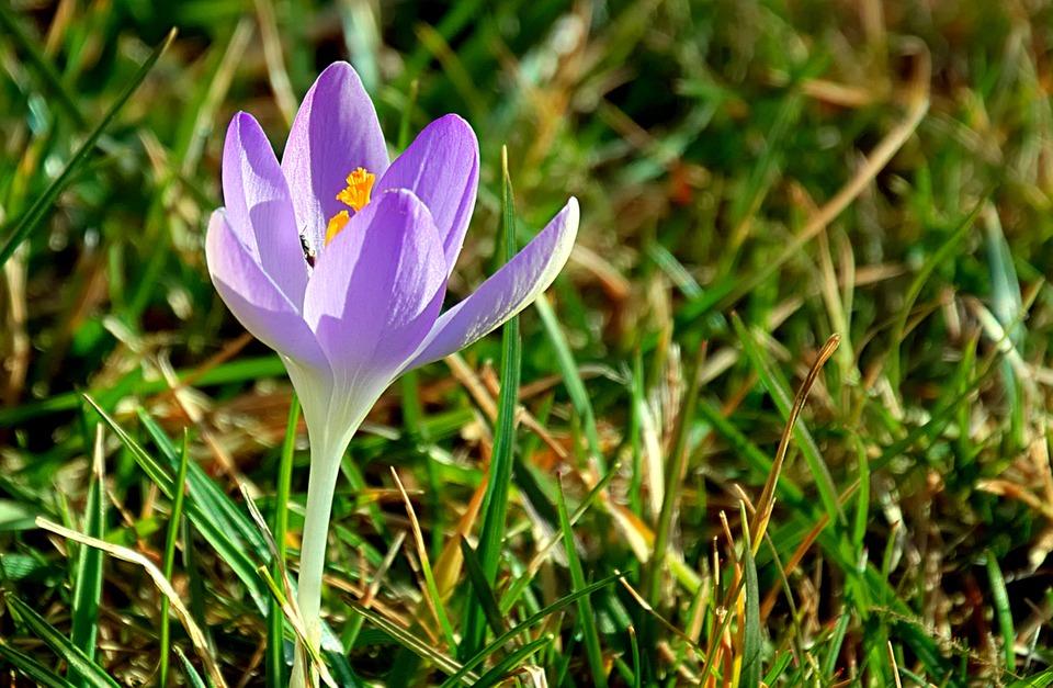 Крокус, Пурпурный, Весна, Цвести, Рано Блумер