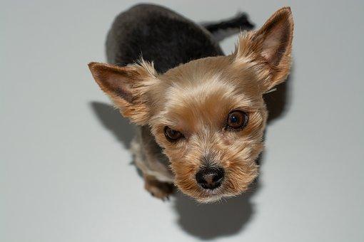 Dog, Small, Yorki, Sweet, Cute, Pet