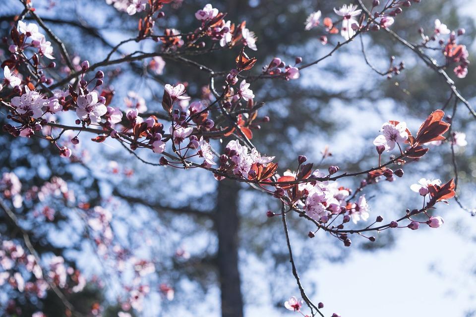Fiori Di Pesco.Flowers Fiori Di Pesco Spring Free Photo On Pixabay