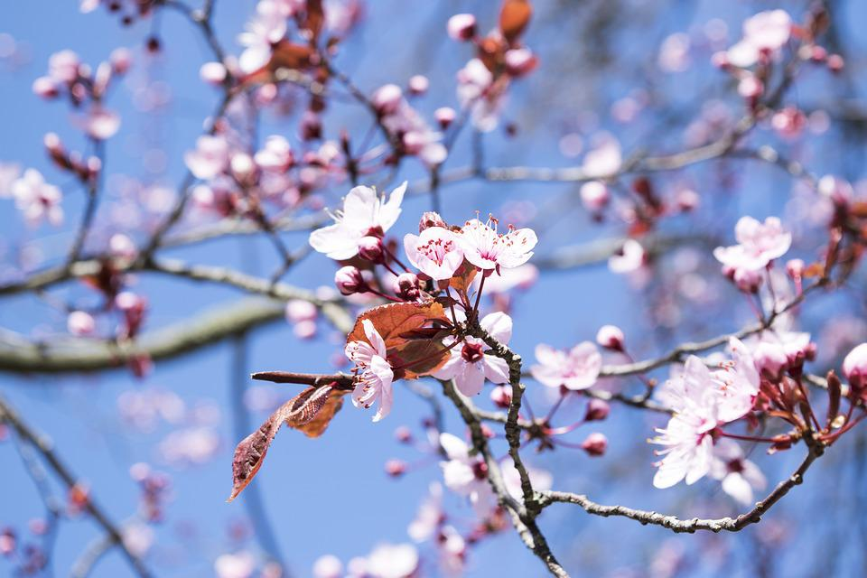Fiori Pesco.Flowers Fiori Di Pesco Spring Free Photo On Pixabay