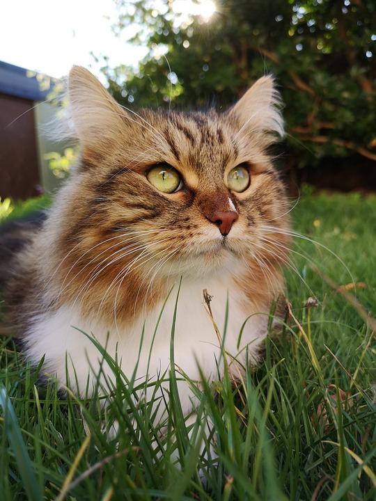 Gatto Siberiano Cat Animale Foto Gratis Su Pixabay