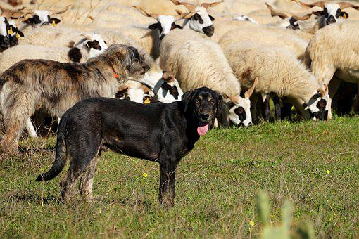 Cane, Cane Da Pastore, Pecore
