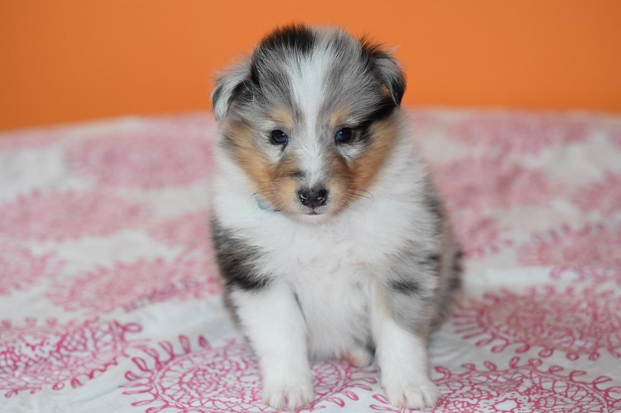 Puppy Shetland Sheepdog Dog - Free photo on Pixabay