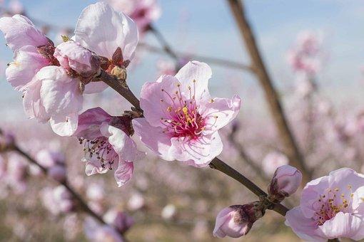 kirsikka kukka ruiskuttaminen musta shemale seksiä