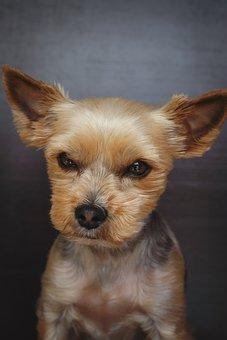 Dog, Yorki, Terrier, Yorkshire Terrier