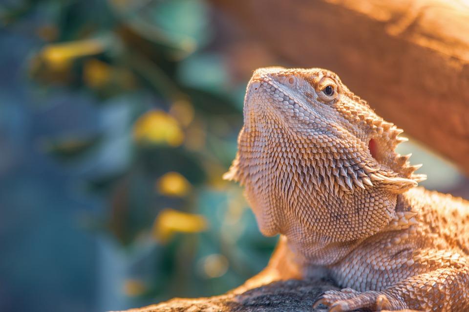 Pet Dragon Lizard