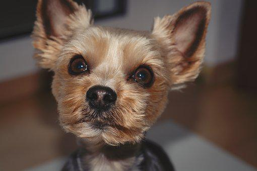Dog, Yorki, Terrier, Yorkshire Terrier
