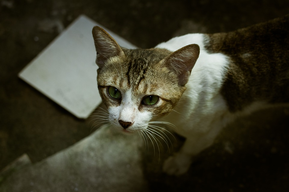 1cd1755d92db Μάτια Γάτα Ζώο Κατοικίδιο - Δωρεάν φωτογραφία στο Pixabay
