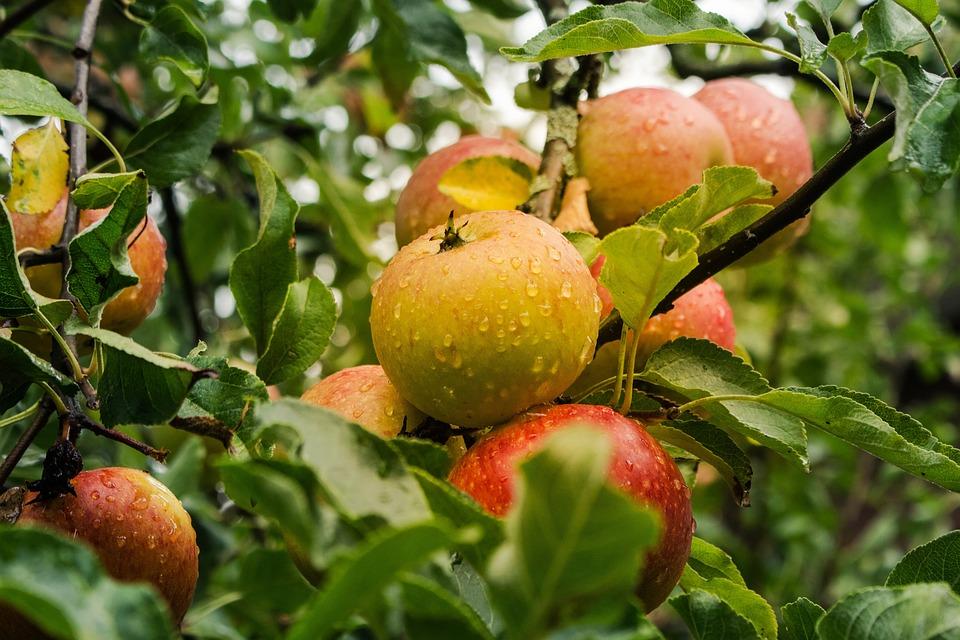 Apple, Fruit, Harvest, Ripe, Food, Fresh, Healthy