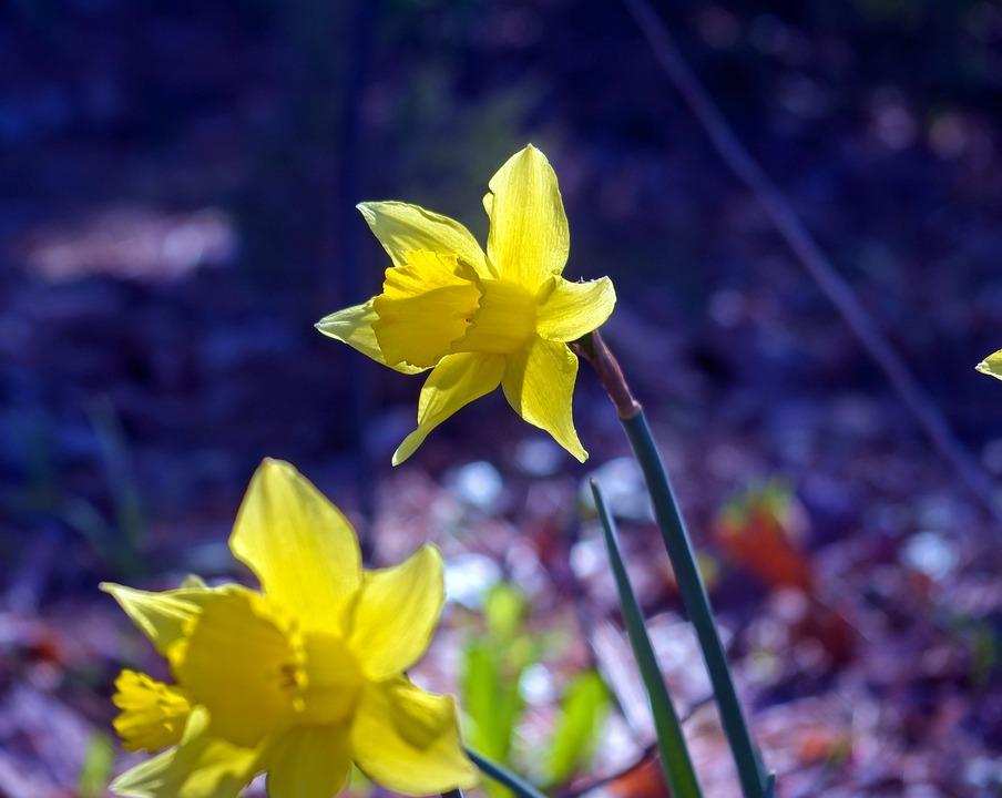 März Narzissen Garten Blüte Kostenloses Foto Auf Pixabay