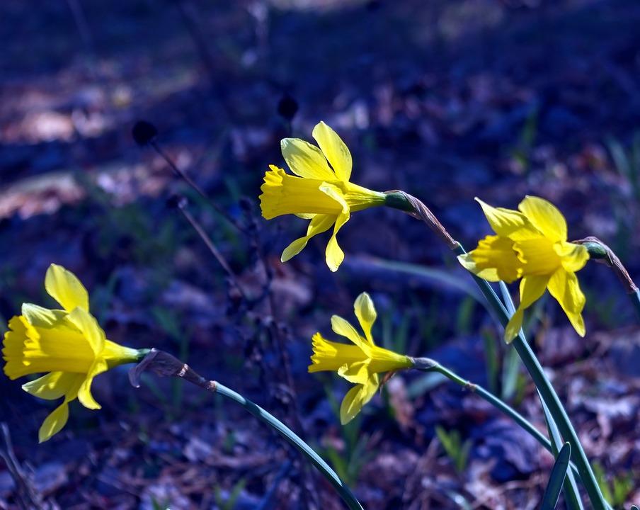 März 2019 Narzissen Garten Blüte Kostenloses Foto Auf Pixabay