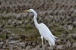 animal, yamada's rice fields, bird