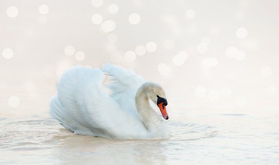 Swan, White, Nature, Water Bird, Water