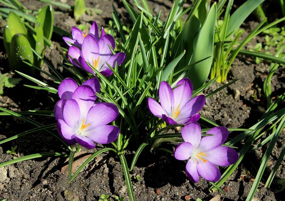 Krokus, Safran, Violett, Frühlingsblumen, Blumen, Natur