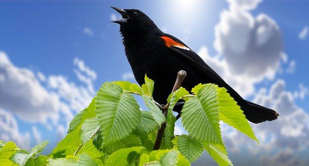 A Vörös Szárny Feketerigó, Nyár, Madarak