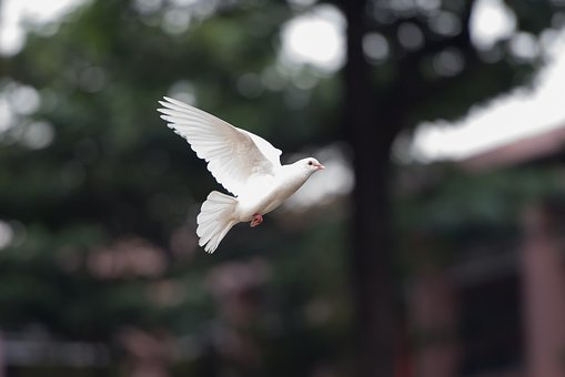 Bird, Dove, Fly, Nature, Wing, White