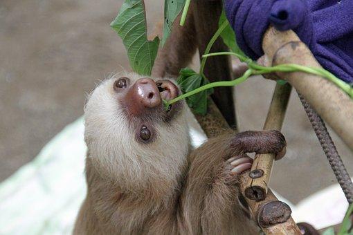 Sloth, Arboreal, Mammals, Baby, Nature