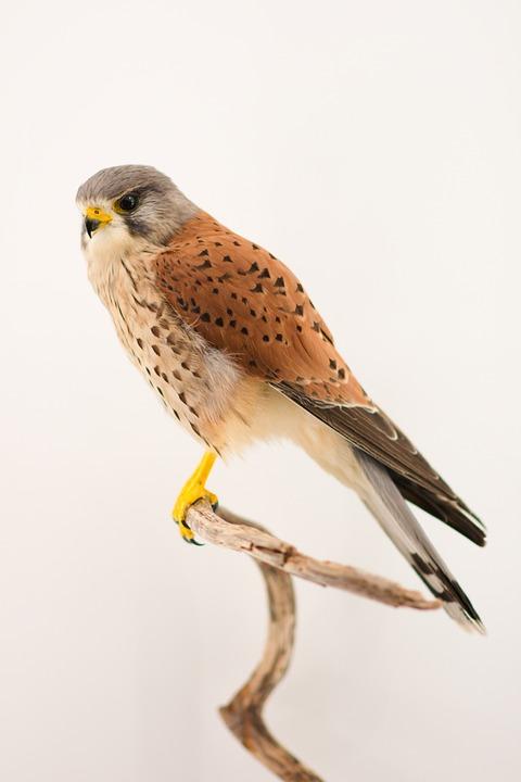 Птица, Bird Of Prey, Пустельга, Природа, Животное, Лес