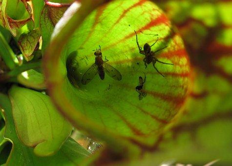 Planta Carnívora, Insectos