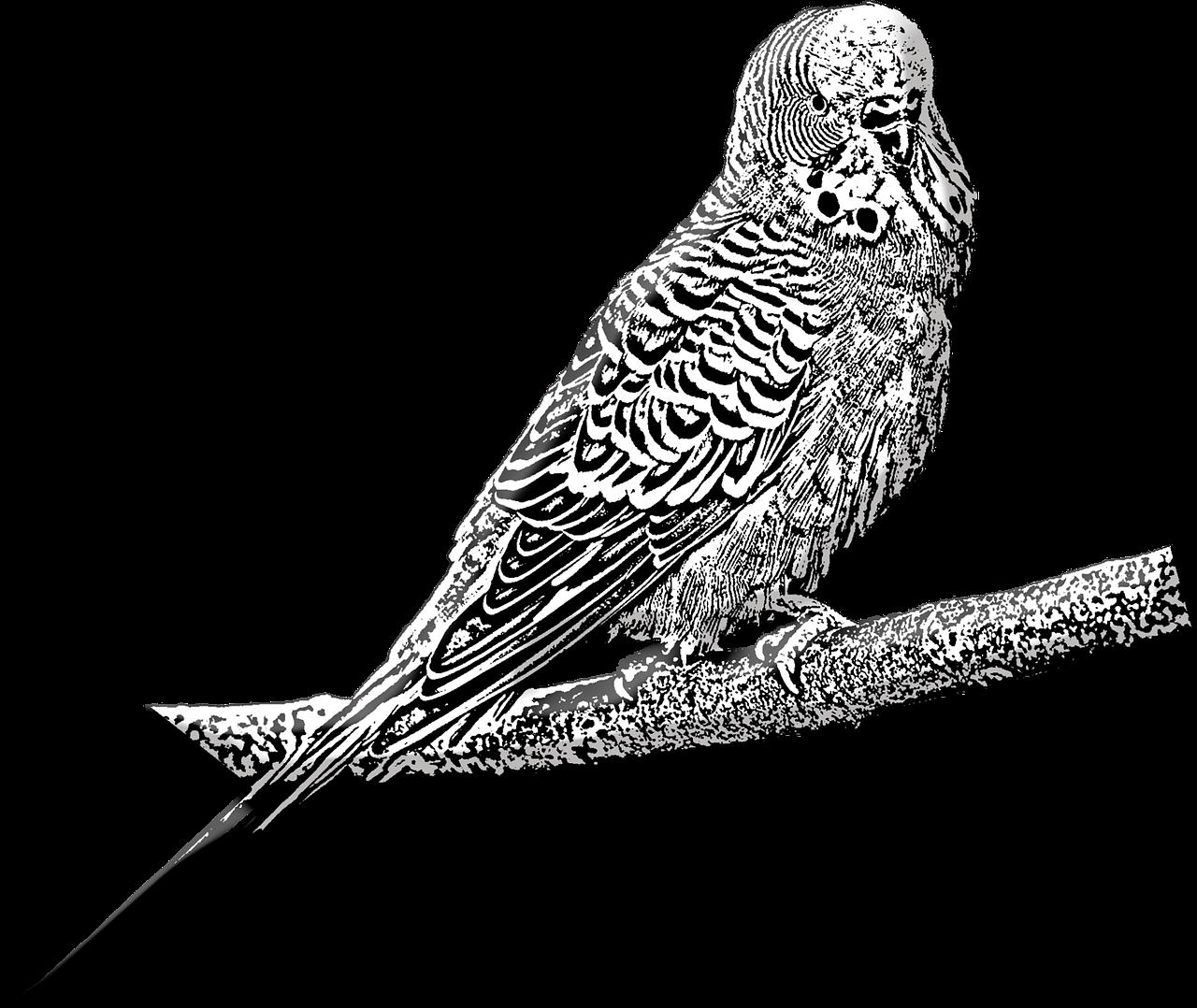 Budgie Pet Bird Free Image On Pixabay