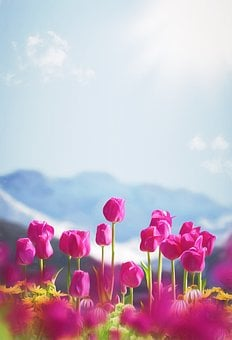 Spring, Flowers, Tulips, Phone Wallpaper