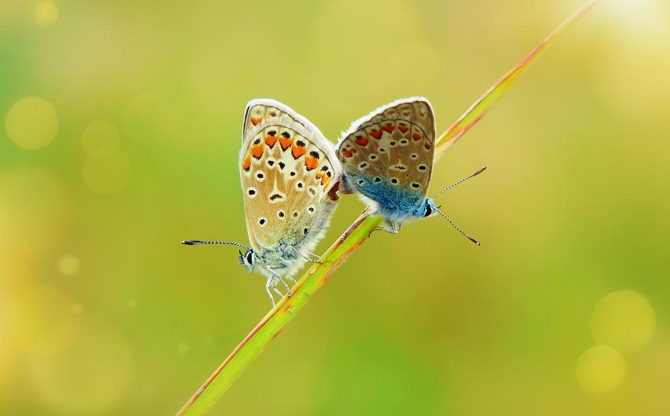 Голубянка Icare, Insectes, Les Papillons Diurnes