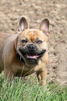 French Bulldog, Dog, Cute, Sweet