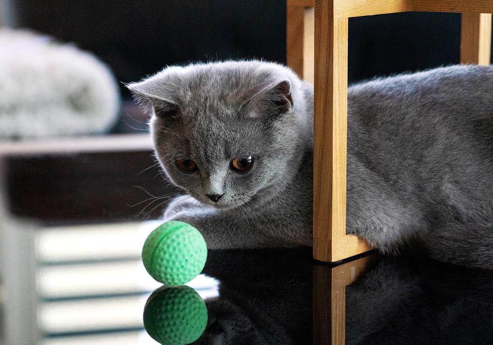 Kat, Katten, Bkh, Britse Korthaar, Kitten, Bal