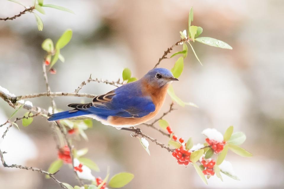 Bluebird, Berries, Snow, Winter, Nature, Branches