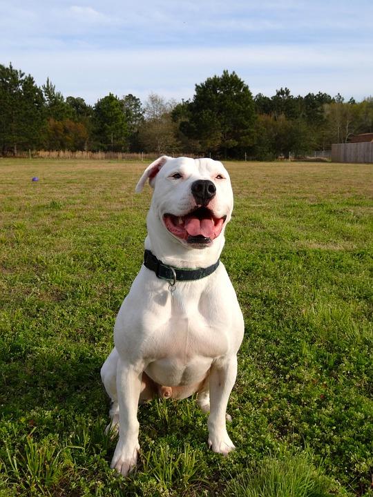 American Bulldog Pitbull Tier Scot Kostenloses Foto Auf Pixabay
