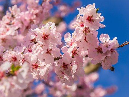 桜の花, 春の目覚め 》, ブロッサム, 分岐, スプリング