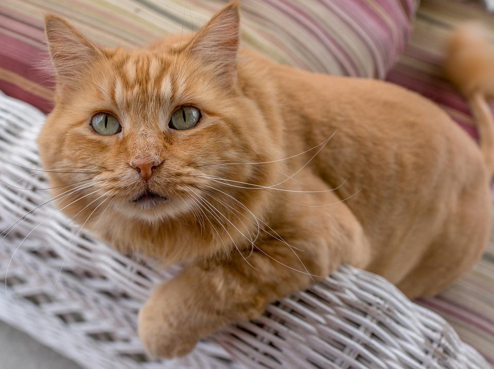 Unduh 65+ Gambar Kucing Oranye Lucu Terbaru Gratis