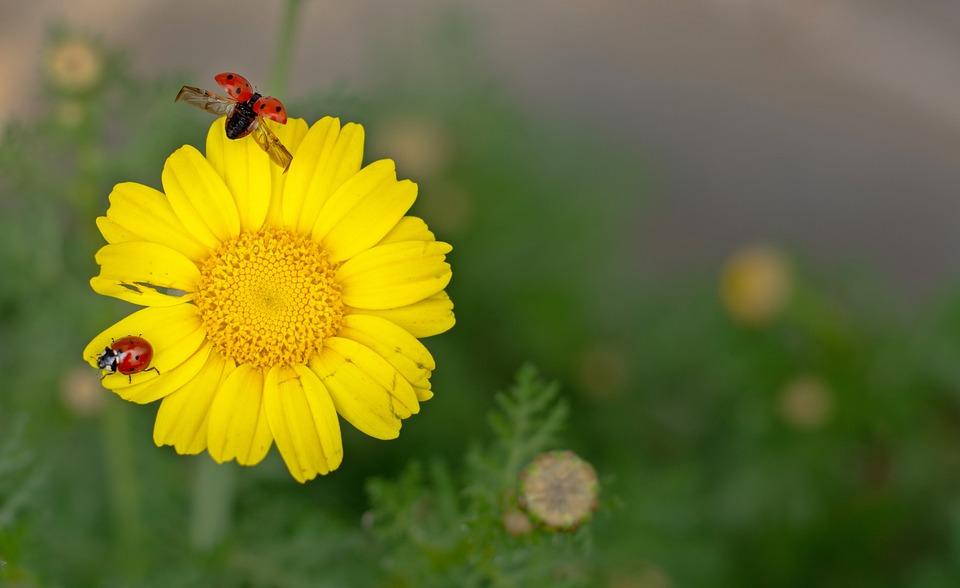 Marienkäfer Margarita Natur Kostenloses Foto Auf Pixabay