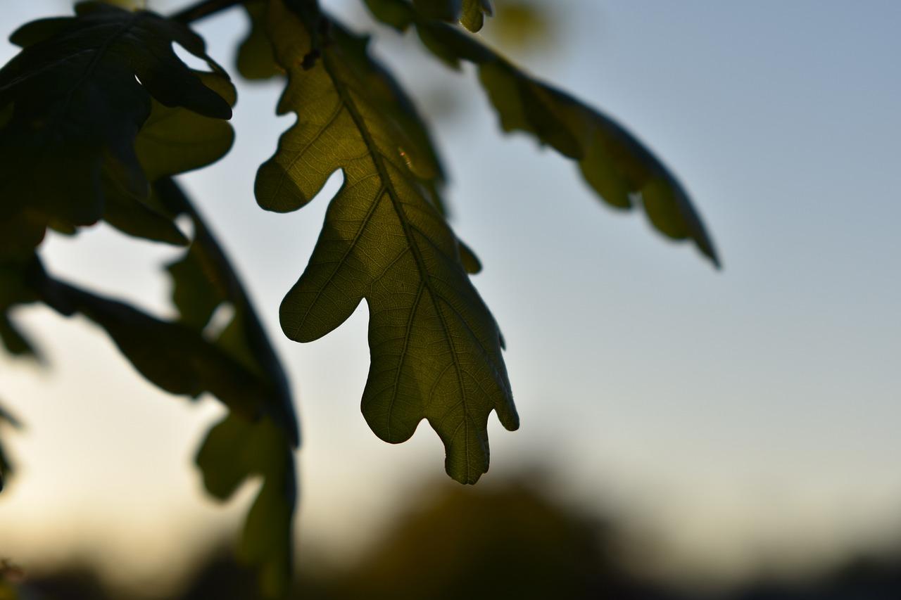 какого цвета листья дуба летом фото позиции списке занимает