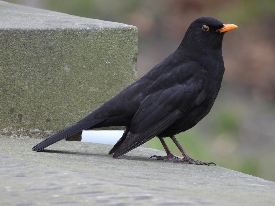 obrázky černých velkých ptáků