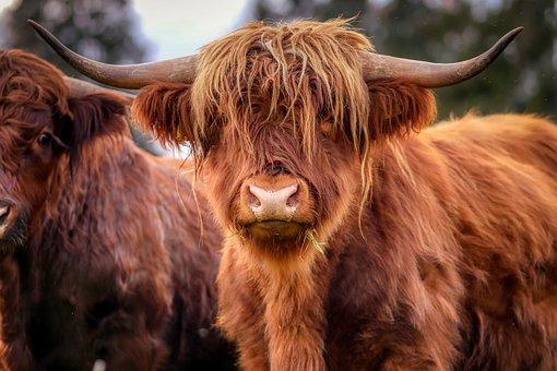 1,000+ Free Bull & Animal Images - Pixabay