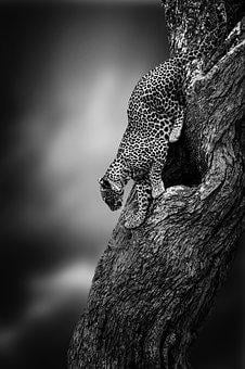Leopard, Big Cat, Wildlife, Predator