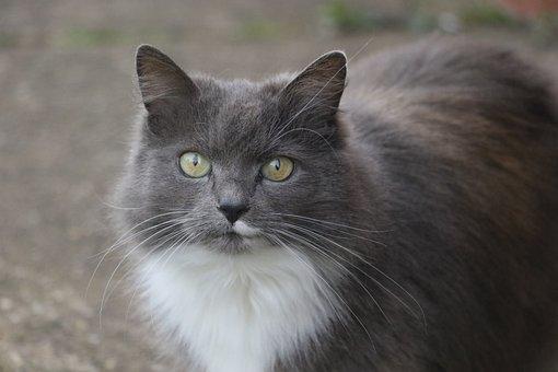 Katze, Katzen-Augen, Auge, Tier