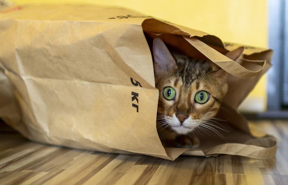 Macska, Csomag, Bengáli, Ragadozó, Vicces - krónika