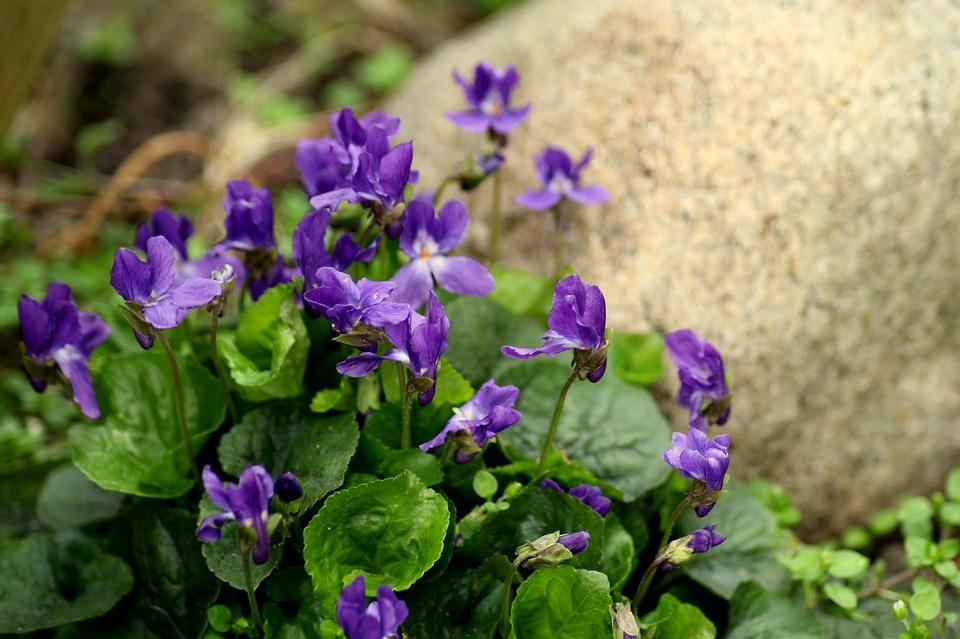 Veilchen Blumen Frühling Kostenloses Foto Auf Pixabay