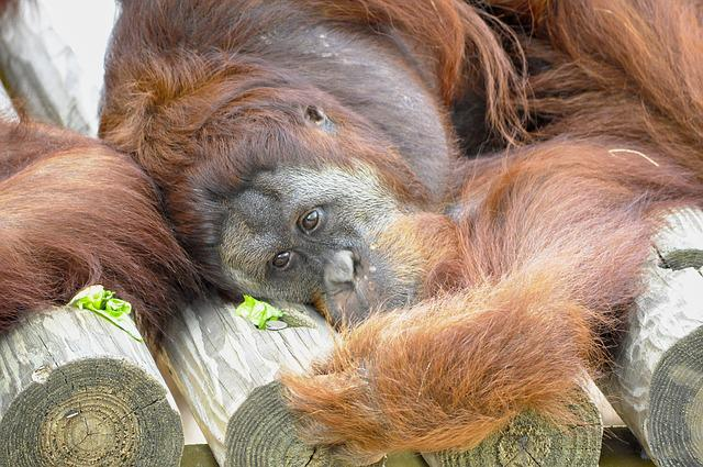 Orangutan u003cbu003eAnimalu003c/bu003e Mammals - Free photo on Pixabay