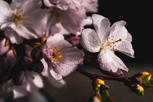Třešňové Květy, Větev, Růžový, Jaro