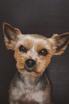 Dog, Pet, Small, Yorki, Terrier, Cute