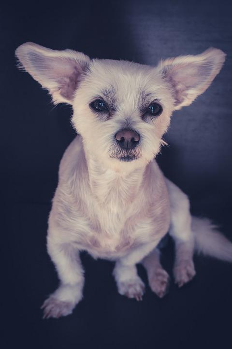Malteser Havaneser Hund Weiß Kostenloses Foto Auf Pixabay
