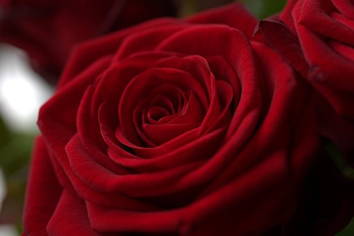 Rose, Red, Love, Romantic, Blossom Know more about the days leading up to Valentine's day like Rose Day, Chocolate day and Anti-Valentine's day like break up day, slap day and more.